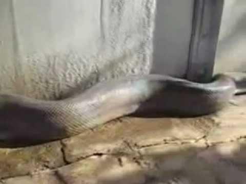 Biggest snake ever caught on tape - YouTube