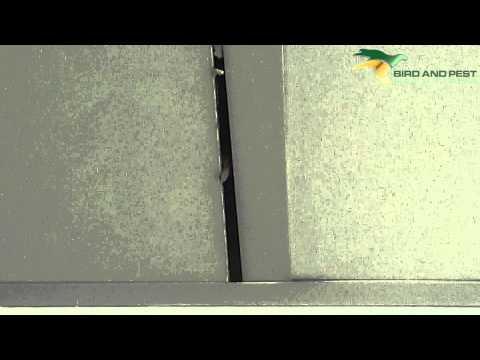 Rat in Ceiling