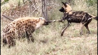 Wild Dog & Hyena Punching Match