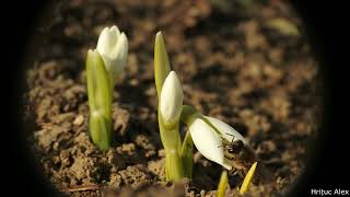 A few hours in the life of two snowdrops ~ Time lapse ~