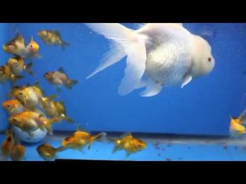 baby lionhead goldfish...