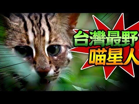 【★石虎就靠你們了★活得最辛苦的台灣最野喵星人】