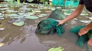 Rắn Hổ Mang Khổng Lồ Dính Bẫy Cá l Khu Này Dính Đúng 1 Cặp l Cobra In The Fish Trap