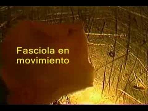 Fasciola hepatica - veliki metilj