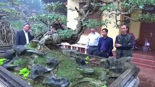 SH.717.Cây Gỗ Trắc Bonsai đẹp nhất Việt nam tại vườn cảnh Trung đất.