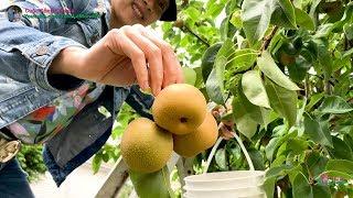 Hai Vợ Chồng Hái ' Trộm ' Lê Nhật, Ôi Trái Nhiều Thấy Mà Mê 🇨🇦380》Harvesting Japanese Pears