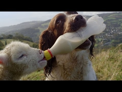 Guide Dogs Are Truly Amazing | Secret Life of Dogs | BBC Earth