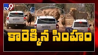 Lion climbs on top of car full of tourists at safari park ..