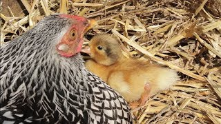 The Hen & The Ducklings - Animal Odd Couples and Cute