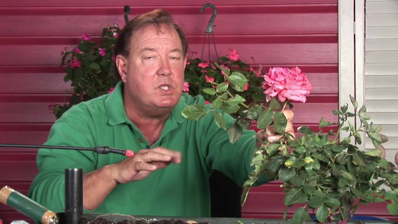 Growing Roses How To Prune Tall Rose Bushes Youtube