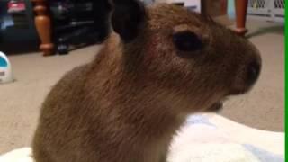 Baby Capybara Squeaking