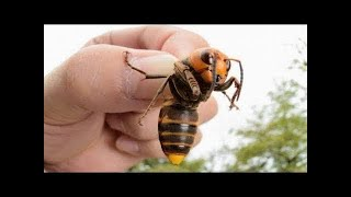 When Asian Giant Hornets Attack