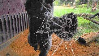 Gorilla Escapes Zoo Enclosure, Chaos Ensues
