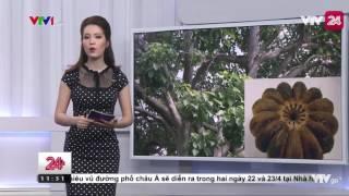 Thêm 40 Trẻ Bị Ngộ Độc Do Ăn Phải Quả Cây Ngô Đồng  - Tin Tức VTV24