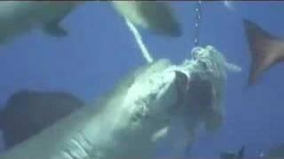 サメに餌付け7