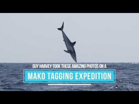 Shortfin Mako Shark - Big Jumps!