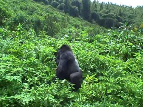 Gorilla trekking in Rwanda, Silverback wel erg dichtbij! (deel 2)