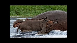 Amazing Moments!! Animal Saves Another Animal | Hippo, wildebeest, crocodiles, Lion, Buffalo  - Chan