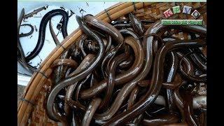 Đặt ụ, xúc lươn đồng mùa nước nổi ở miền tây - Khám phá vùng quê